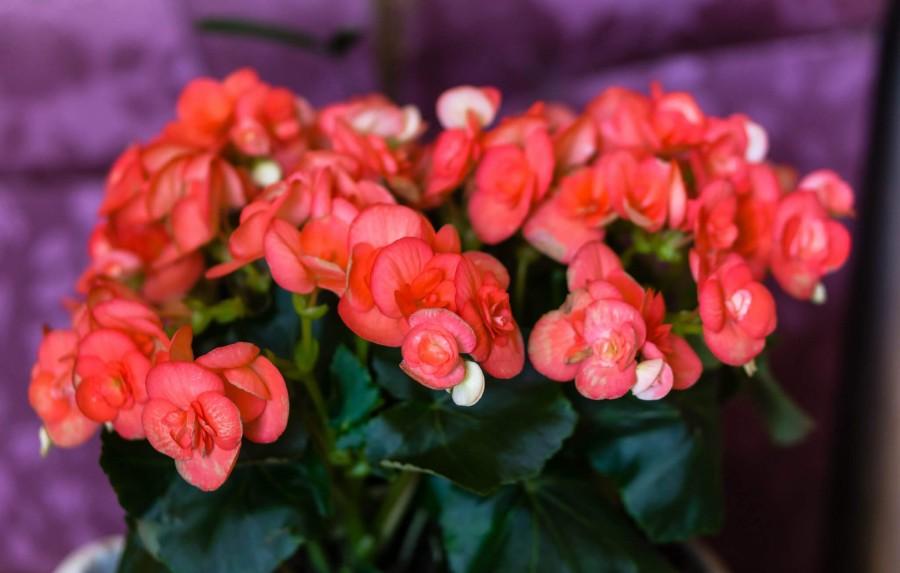 Цветущая Бегония Фото