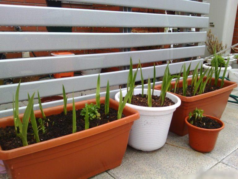 Когда сажать гладиолусы и лилии - Дачный Форум 8