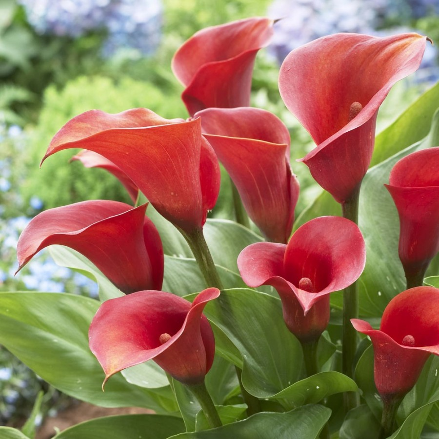 Red calla lily flower 7236988 pacte contre hulotfo this page contains information about red calla lily flower izmirmasajfo