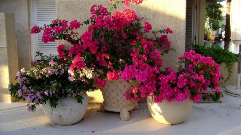 Фото цветов в горшках цветущих