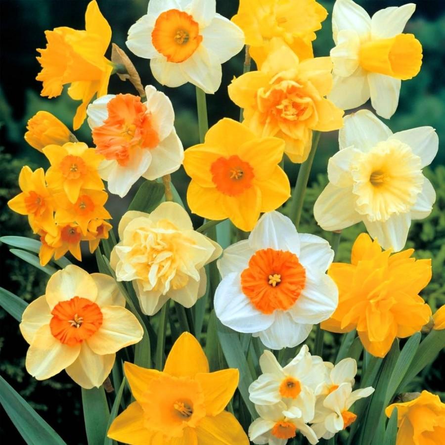 Луковичные семена цветов