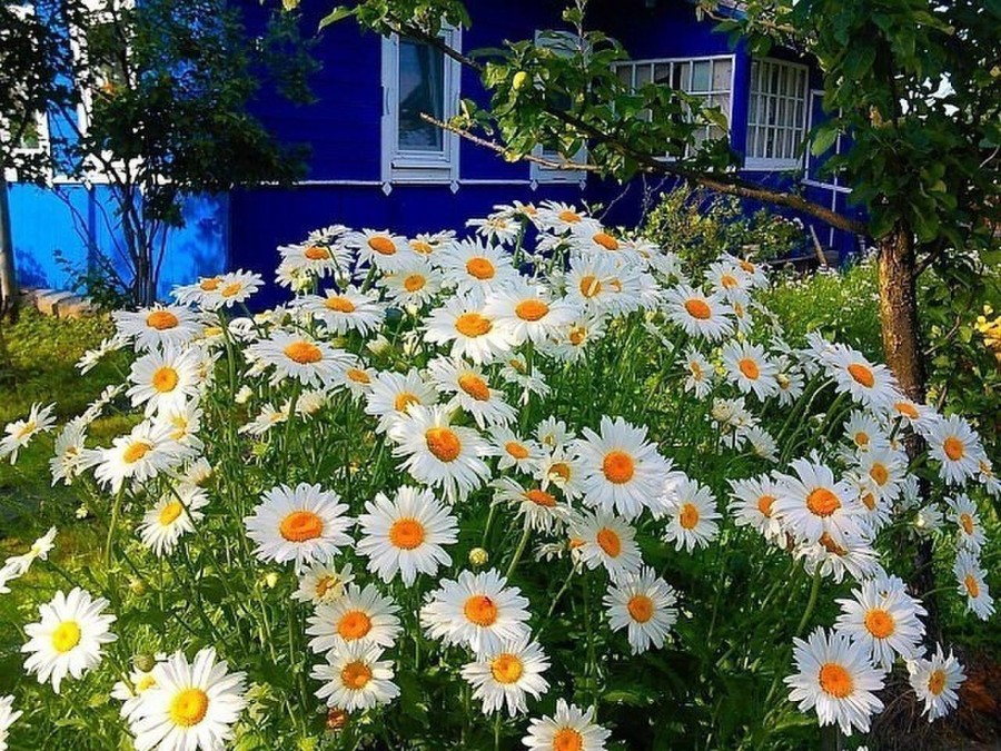 Цветы в виде ромашки фото