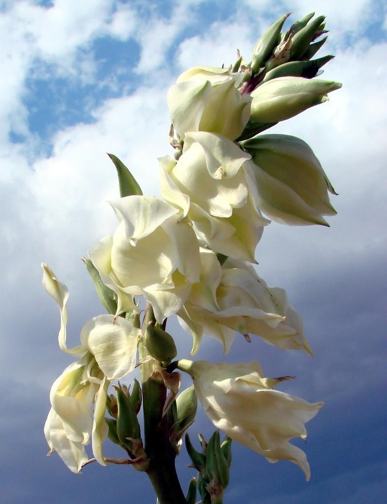 цветок юкка уход в домашних условиях фото