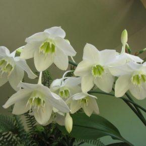 Эухарис: посадка, уход и правильное размножение растения. 115 фото и видео выращивания