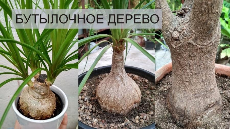 бутылочное дерево фото