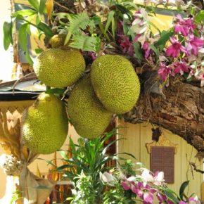 Хлебное дерево: 105 фото как выглядит, описание, выращивание и особенности употребления в пищу
