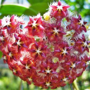 Хойя уход, содержание и описание выращивания: 135 фото цветка и советы по уходу за комнатным цветком