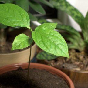 Хурма из косточки — подробное описание выращивания в домашних условиях (видео + 105 фото)