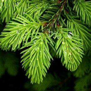 Хвойные деревья — лучшие хвойные деревья и особенности их применения в ландшафтном дизайне (140 фото)